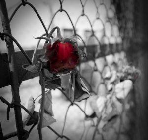 ww2 rose